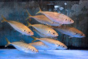 一本釣活魚料理 鮨割烹 稲栄